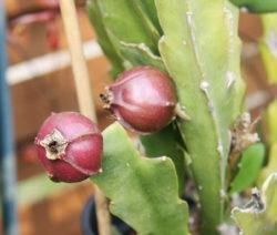 Samenkapseln Kaktus 1