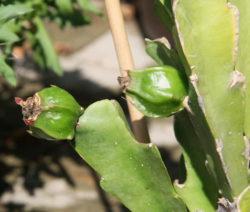 Samenkapseln Kaktus 2