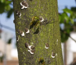 Schildlaus An Baum 1