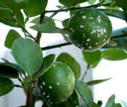 Schildlausbefall Auf Zitrone