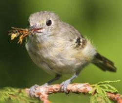 Wespe_Nützling_Nahrung_Vogel_Naturschutz_Stieglitz