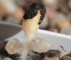 Austreibender Samen Kaktus