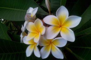 Frangipani Mit Gelb-weißen Blüten