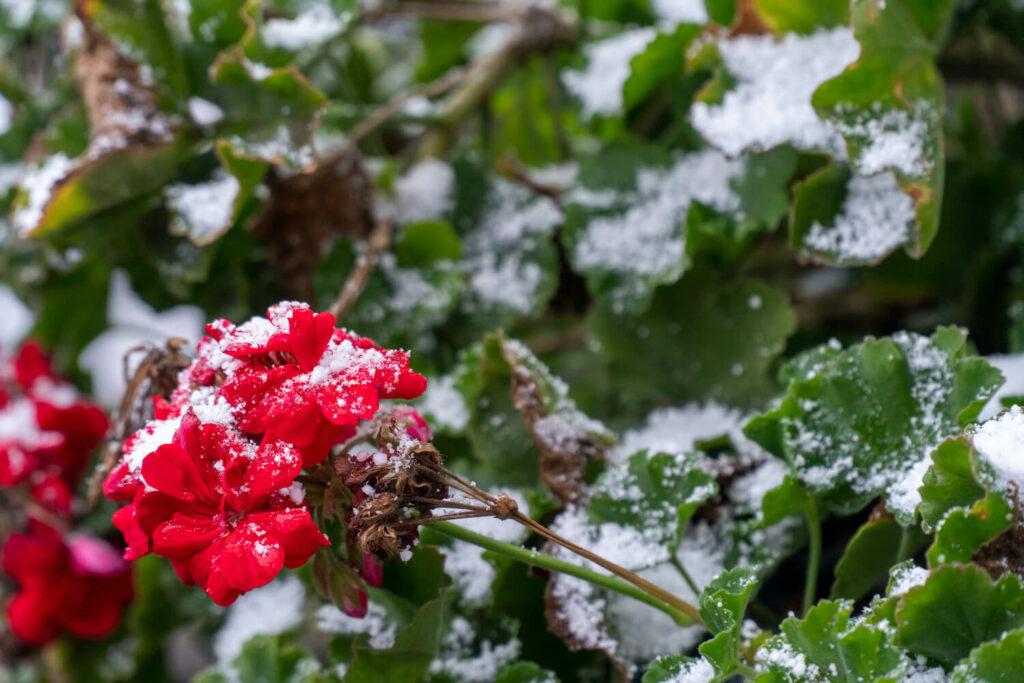 Geranien im Winter