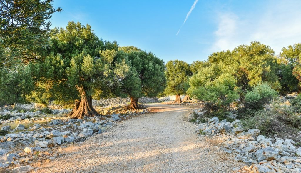 Alte Olivenbäume am Wegesrand