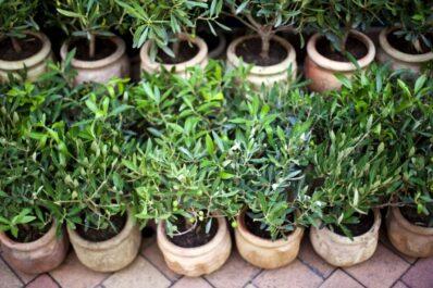 Olivenbaum düngen: Richtiger Dünger & Zeitpunkt
