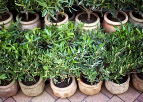 Junge Olivenbäume In Kleinen Töpfen