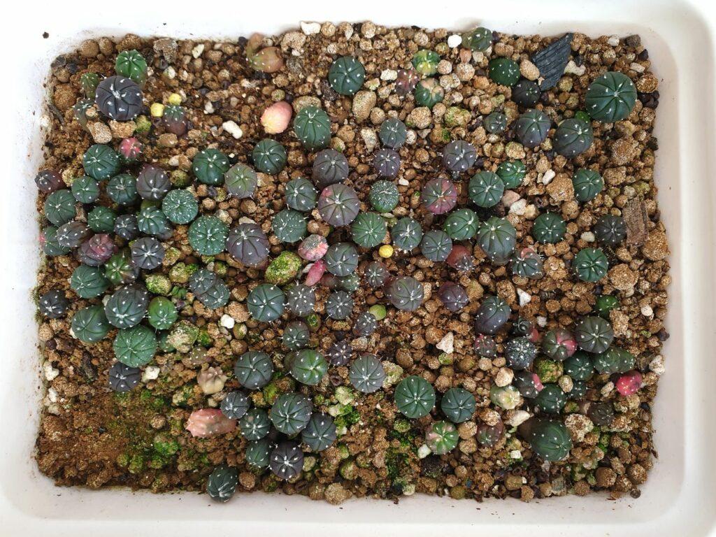 Kaktus-Keimlinge in Substrat