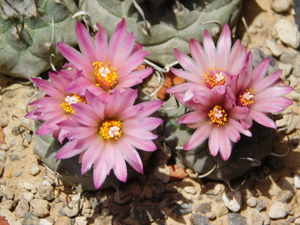 Kakteen mit rosa Blüten