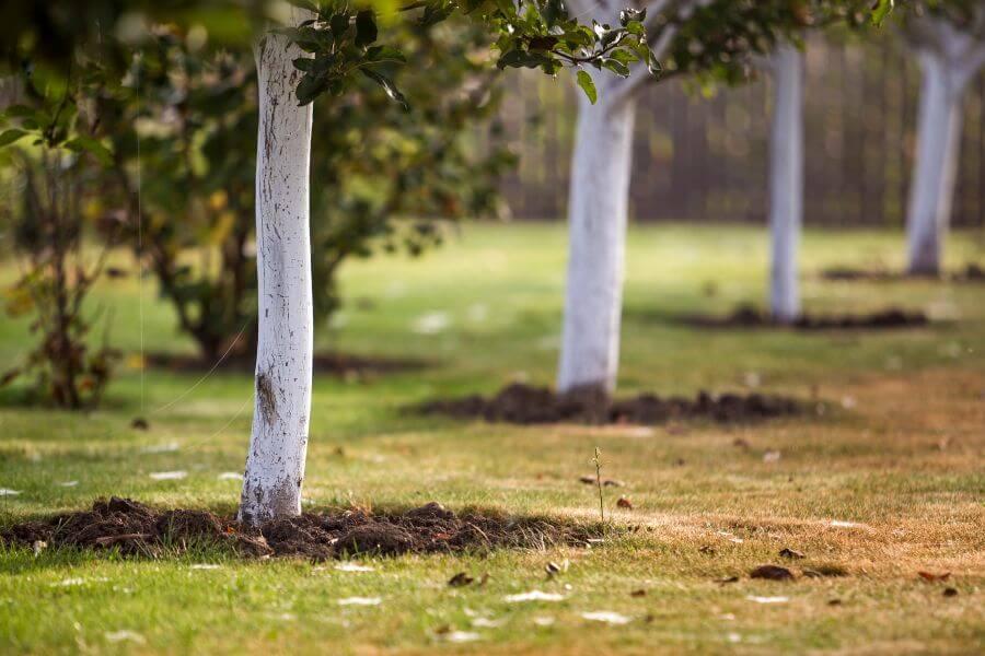 Obstbäume mit Kalkanstrich