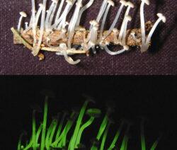 Leuchtende Pilze 2