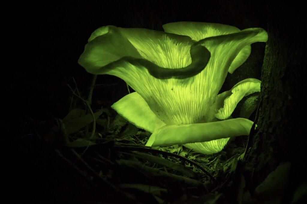 grün leuchtende Pilze