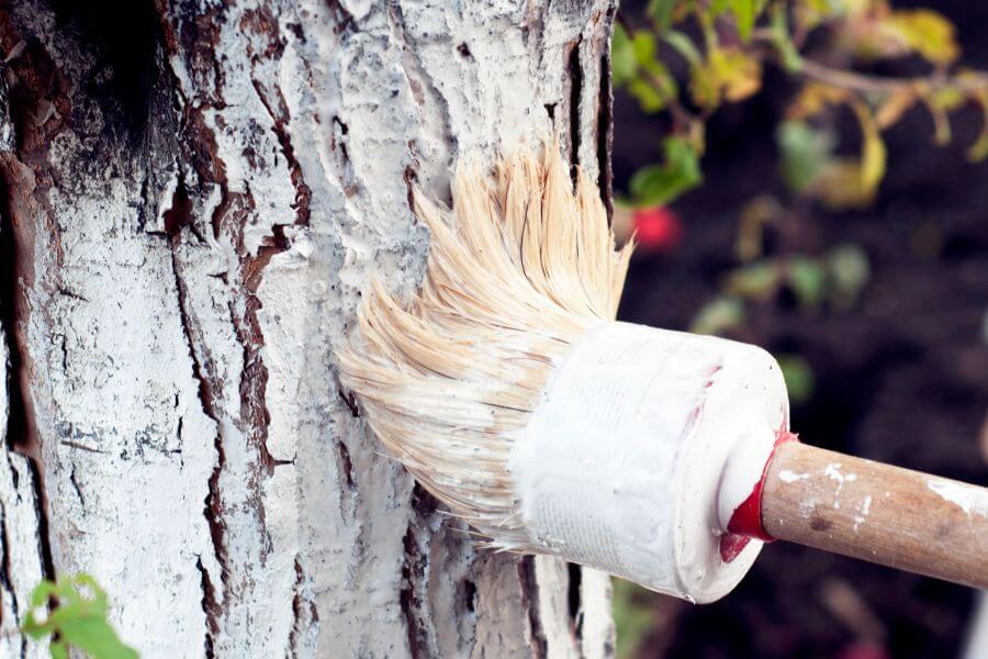 Baum wird mit Kalk angestrichen