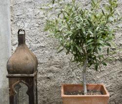 Olivenbaum Im Topf Neben Laterne