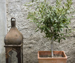 Olivenbaum Im Topf 1