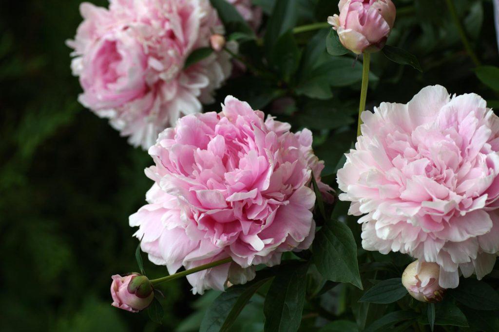 Pfingstrose mit rosa Blüten