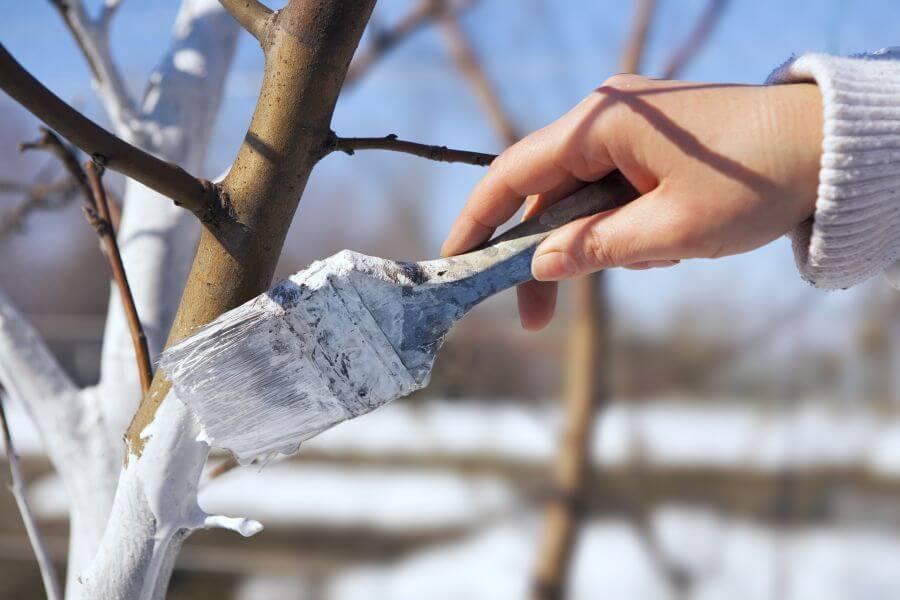 Junger Baum wird mit Kalk angestrichen
