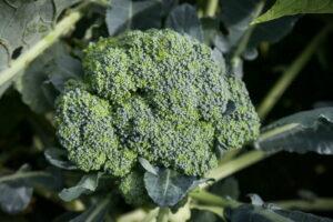 Brokkoli Im Hochbeet
