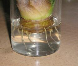 Ananas Bewurzeln In Wasserglas