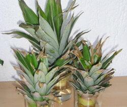 Ananas Bewurzeln