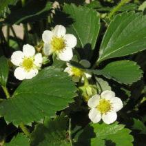 Weiße Blüten Erdbeere