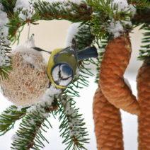 Blaumeise An Meisenknödel Im Winter Bei Tannenzapfen
