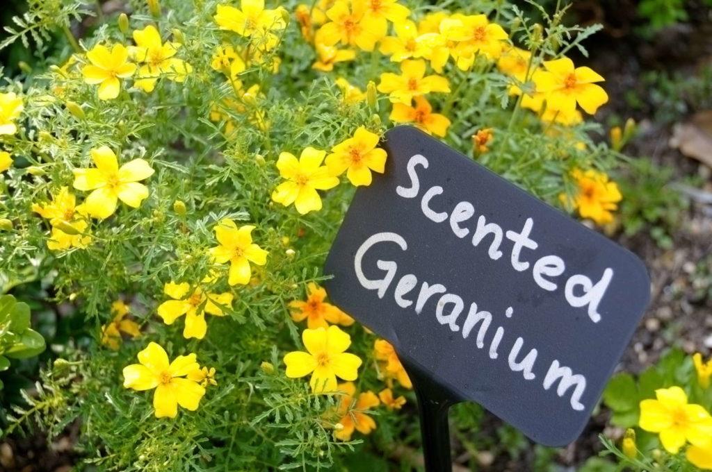 Duftgeranie gelb mit Namensschild