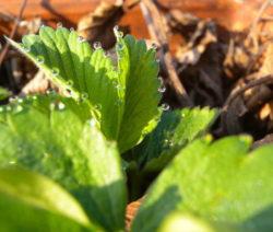 Erdbeer Blatt Wassertropfen 2