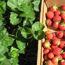 Erdbeer Ernte In Kiste