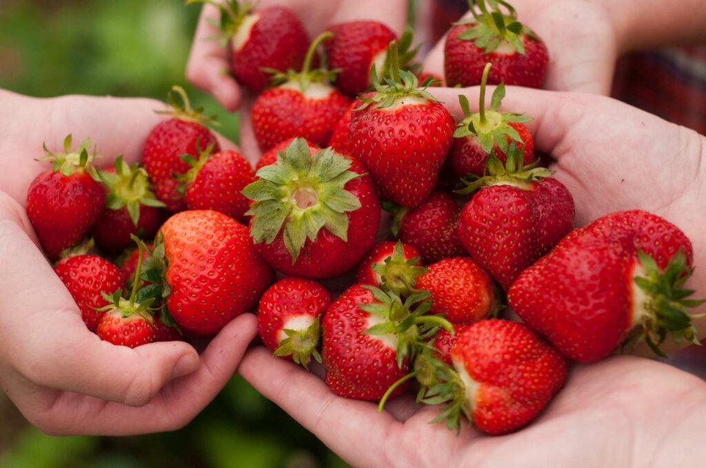 Erdbeeren in Händen