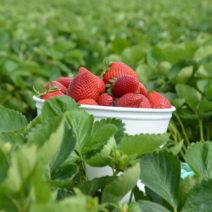 Erdbeeren In Schale Geerntet Auf Feld