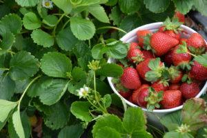 Erdbeeren Ernten In SChale Im Feld