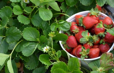 10 Tipps Für Eine Erfolgreiche Erdbeerernte