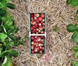 Erdbeeren In Korb Zwischen Erdbeerreihen Auf Stroh