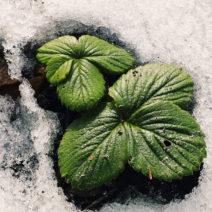 Erdbeere Blatt Schnee