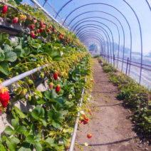 Erdbeere Folientunnel Vertical Farming