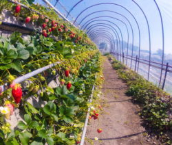 Erdbeere Folientunnel Vertical Farming