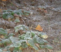 Erdbeere Frost