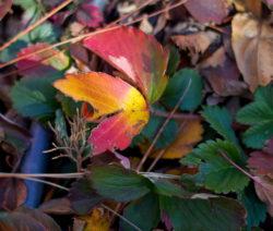Erdbeere Herbst Bunte Blätter