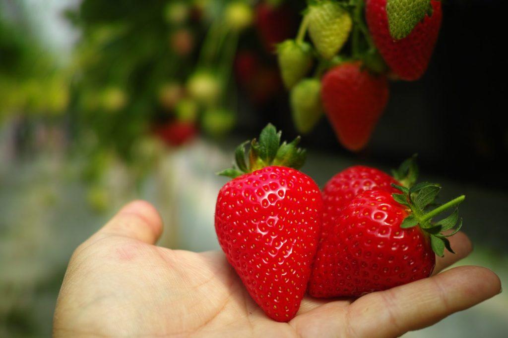 Erdbeere Sorte Lambada
