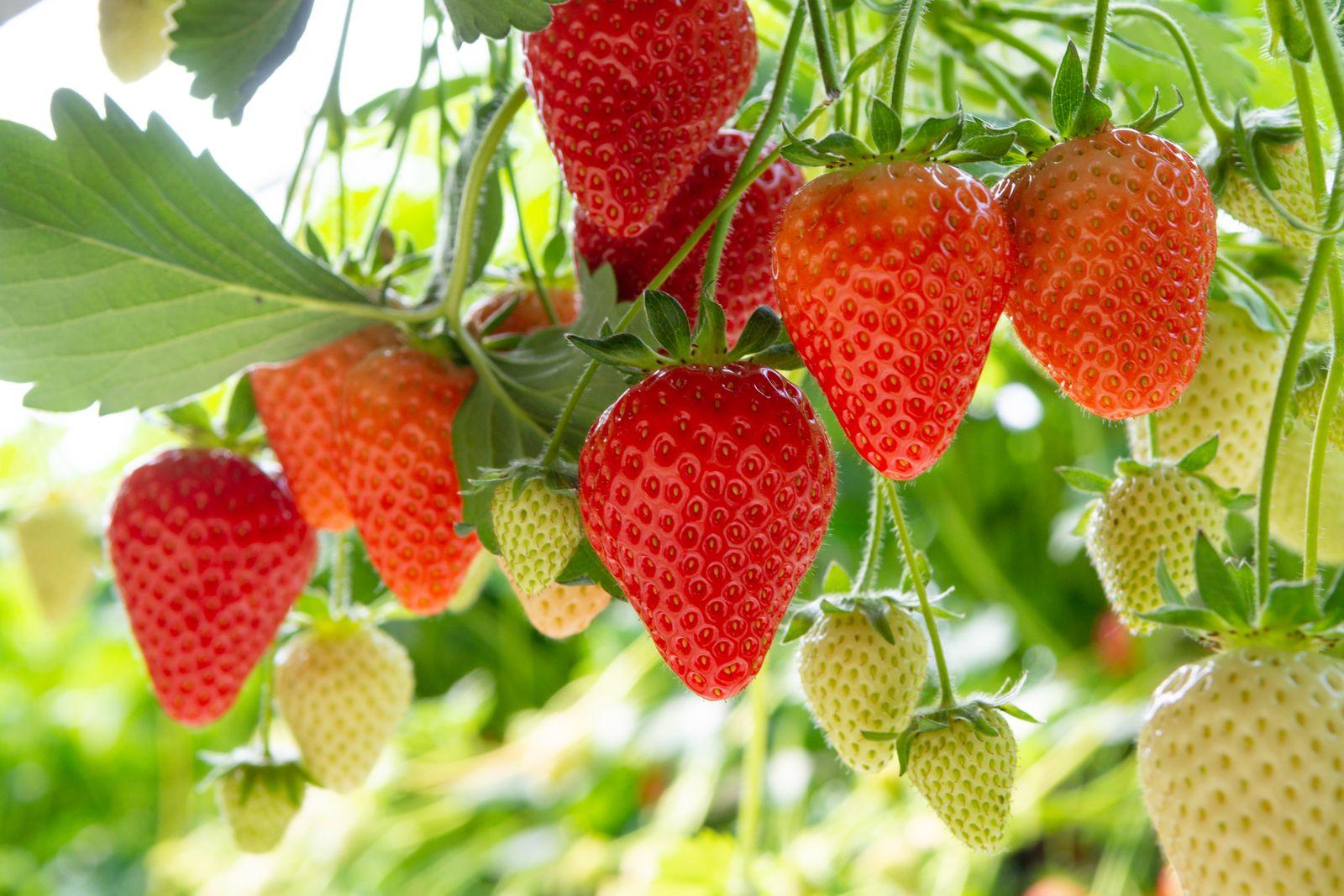 Berühmt Erdbeersorten: Robuste, immertragende & frühreife (Übersicht #LZ_72