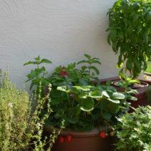 erdbeeren pflanzen erdbeeren aus dem eigenen garten plantura. Black Bedroom Furniture Sets. Home Design Ideas