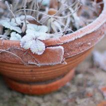 Erdbeere In Topf Frost