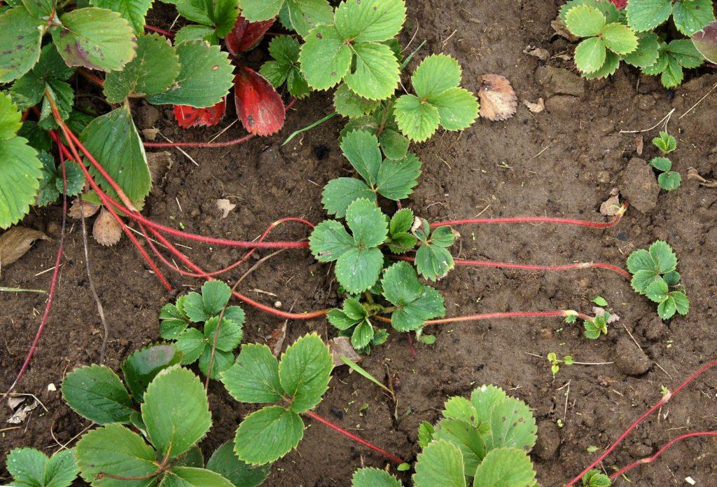 Erdbeere mit Ausläufern