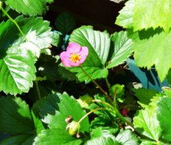 Erdbeere Rosa Blüte