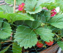 Erdbeeren Im Topf Mit Netz Umwickelt