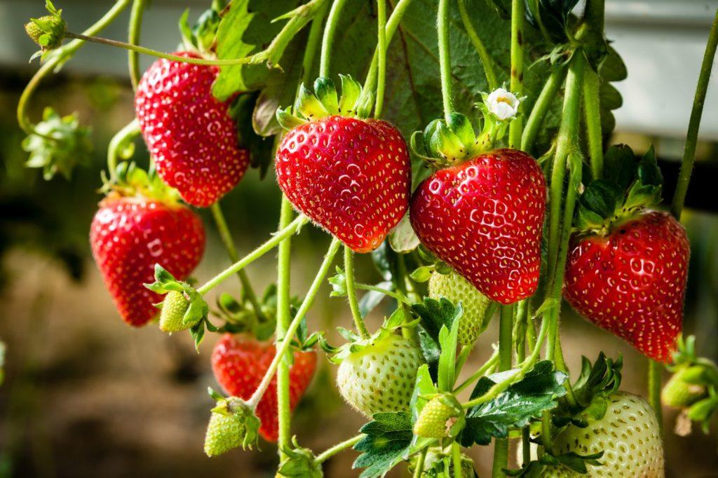 Lieblings Erdbeeren: Experten-Tipps vom Pflanzen bis zum Pflücken - Plantura #OQ_87
