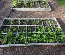 Erdbeeren Im Garten Hochbeet Kasten