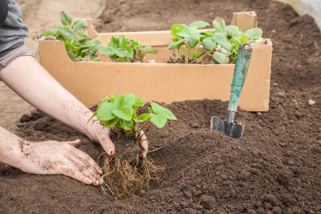 Erdbeeren pflanzen in Erde mit Händen Pflanzen in Kiste