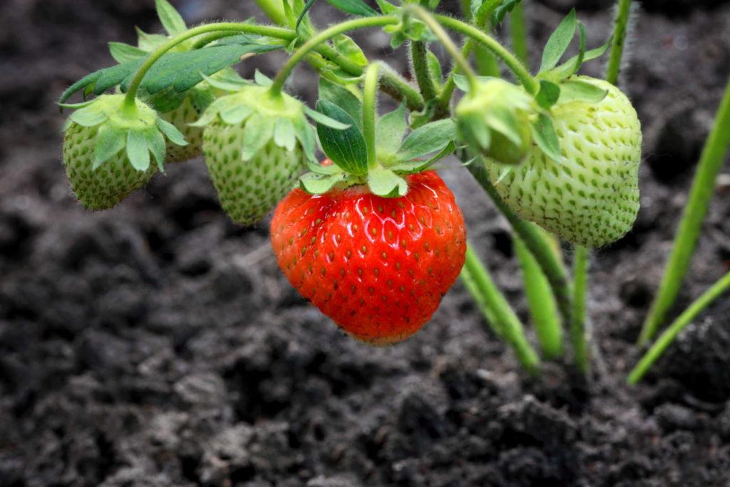 Erdbeeren pflanzen in Erde reife und unreife erdbeeren